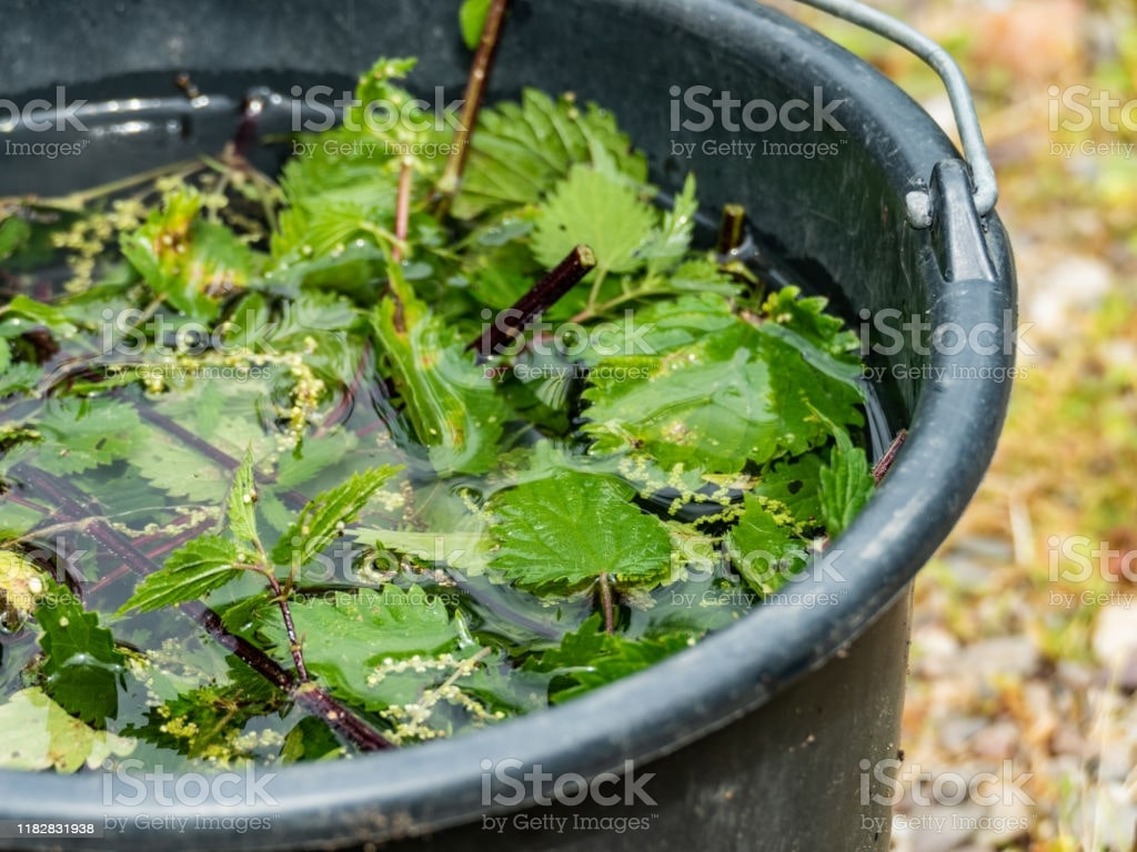 use of stinging nettle in tea.