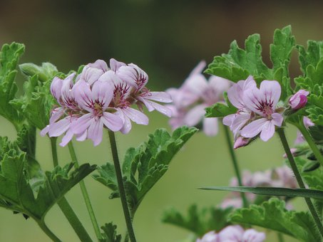 Geranium in the blooming stage.