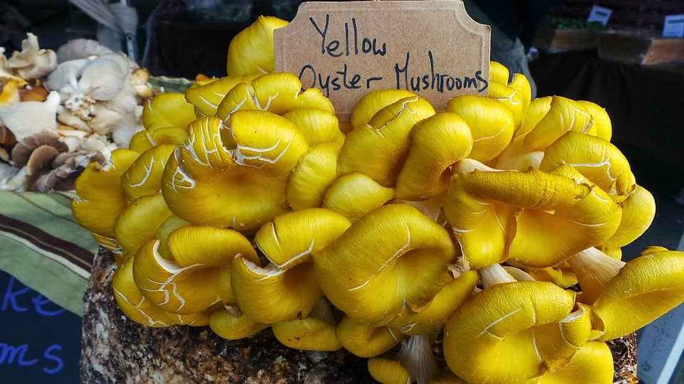 yellow oyster