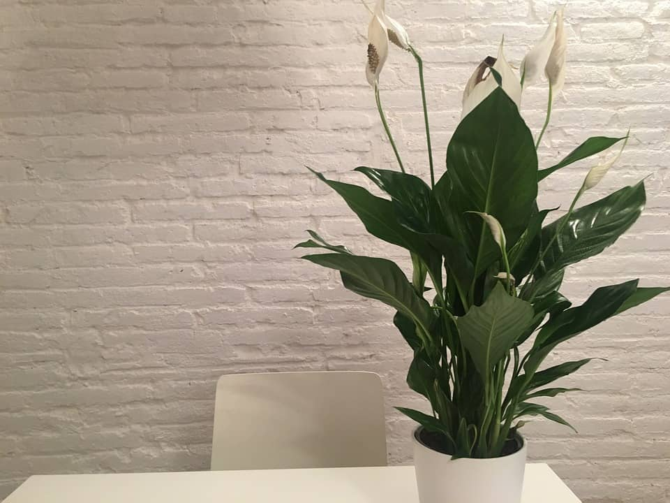 peace lily home plant